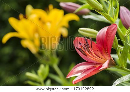 Red asian lily flower in front of yellow lily flower