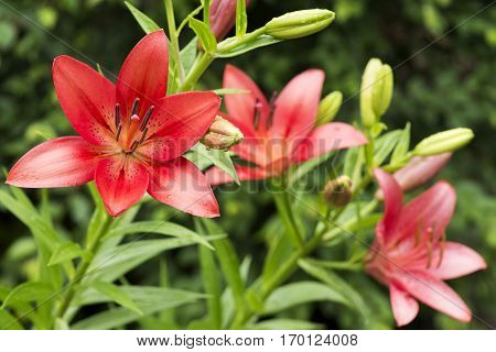 Vivid red asian lily flowers in early summer