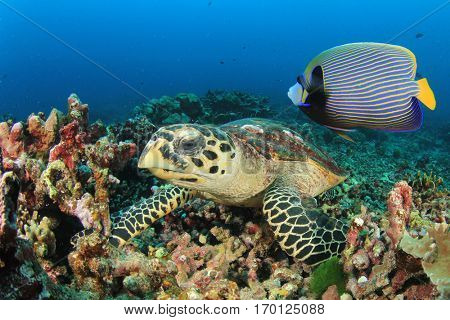 Hawksbill Sea Turtle and Emperor Angelfish