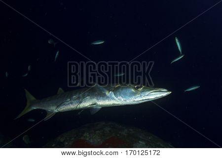 Barracuda fish on night dive