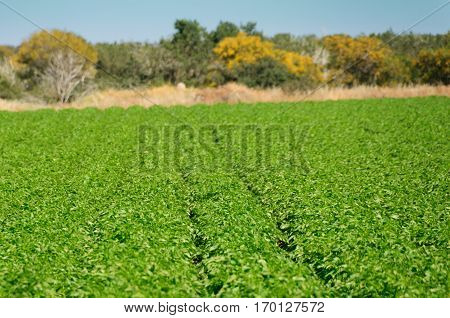 Green Potato Field. Organic vegan raw cultivated.