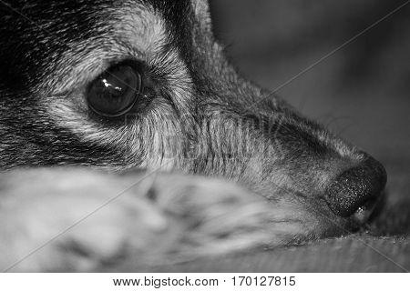 A sad dog muzzle closeup. Photo toned in black and white