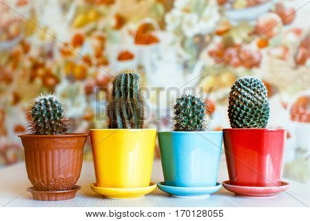 Macro photo of cactus succulents. Desert plants in small pots of multi-colored. Home decoration.