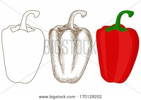 Pepper. Outline contour, doodle, colored drawing. Vector illustration isolated on white background