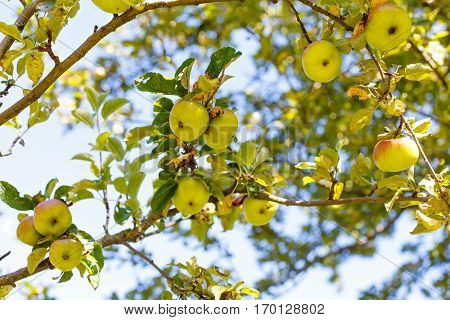 Picture of an apple tree on a sunny day
