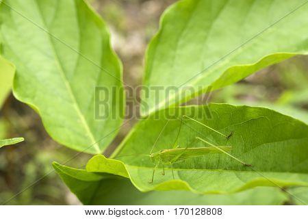 Katydid(Phaneroptera falcata) resting on green leaf in summer