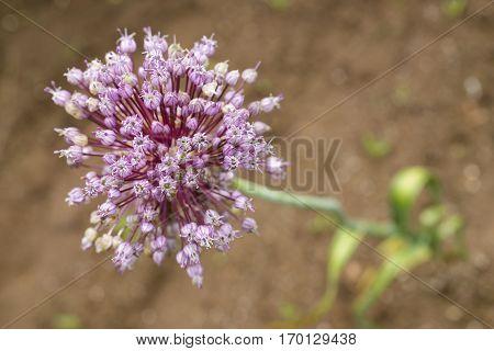 Purple garlic flower blooming above a ground