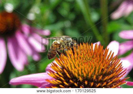 Close-up macro shot of bee insect pollinating a pink echinacea flower