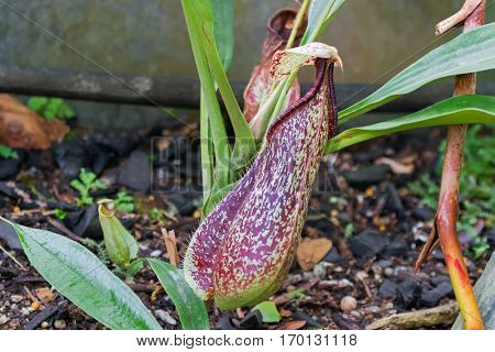 Closeup photo of Nepenthes, Monkey cups, Tropical Pitcher, carnivorous plant in the garden in Singapore