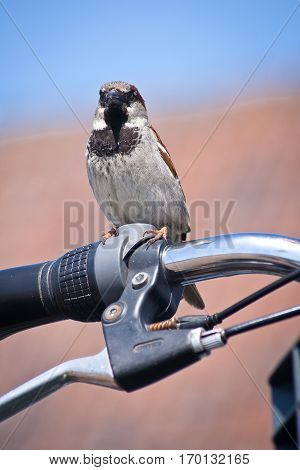 House sparrow perched on a bicycle handlebar