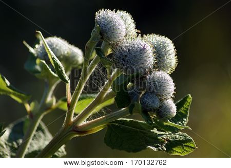 Drops of morning dew on buds of burdock
