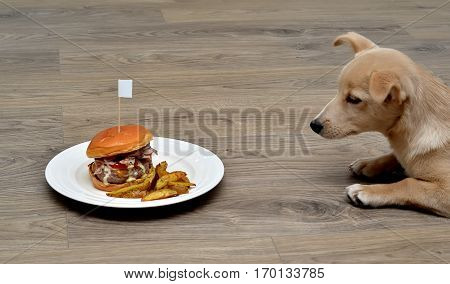Puppy Dog Fastidious Looking At And Hypnotizes Tasty Hamburger