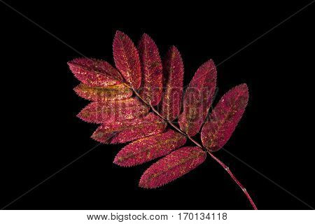 Colorful autumn, fall leaf, leaves on black background. Rowan leaf in red colors in closeup, macro.