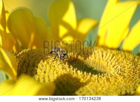 Working bee collects nectar and pollen on sunflower image with local focus and shallow depth of field