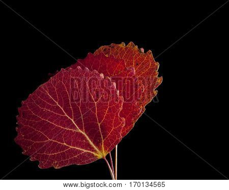 Colorful autumn, fall leaf, leaves on black background. Aspen leaf in red colors in closeup, macro.