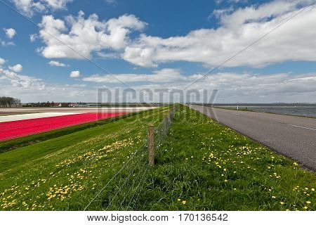 Spring in the Netherlands Dutch landscape with multicolor tulip field, a dike with green grass and cycling path and blue sky and white clouds