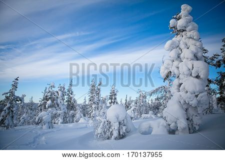 Blue winter Finnish snowy lanscape with pine trees full of snow poster
