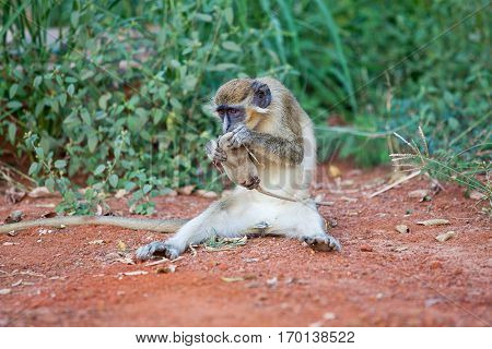 Chlorocebus Monkey eating Bandia Nature Reserve Senegal Africa