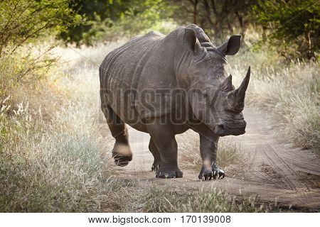 Black rhinoceros walking in the savanna, Bandia nature reserve Senegal, Africa
