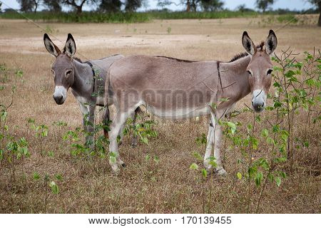 Donkeys grazing in the savanna, Ferlo Senega