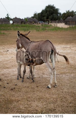 Mother donkey with baby donkey suckling, Senegal