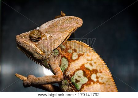 chameleon portrait that looks very unhappy, lizard