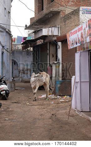 PUSHKAR, INDIA - FEBRUARY 18: Cows strolling around in the city of Pushkar, India. Most Hindus respect the cow for her gentle nature which represents the main teaching of Hinduism, February 18, 2016.