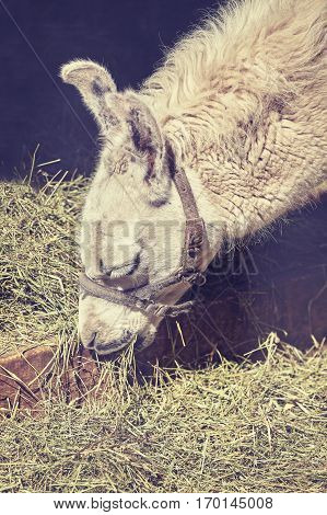 Color Toned Close Up Picture Of A Lama Eating Grass