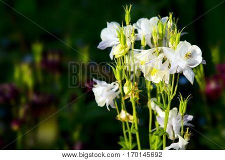 White Aquilegia flowers. Aquilegia vulgaris - Common columbine isolated.