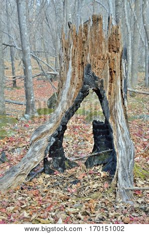 A close up of the very old big stump.