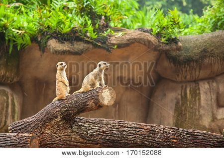 Two meerkats suricate are on guard. Watychin an area.