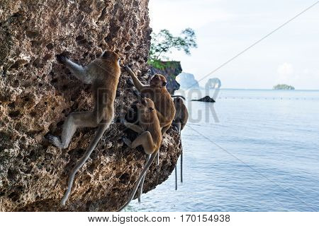 A family of monkeys descended from the trees on the beach and played on a rock near the water in Thailand