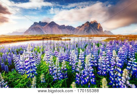 Majestic lupine flowers glowing by sunlight. Unusual and gorgeous scene. Popular tourist attraction. Location famous place Stokksnes cape, Vestrahorn (Batman Mountain), Iceland, Europe. Beauty world.