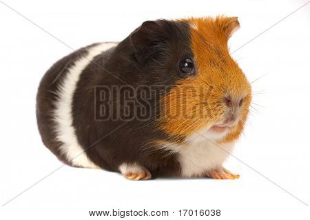 Portrait of a Guinea-pig...