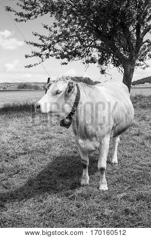 black and white isolated cow grazing in field