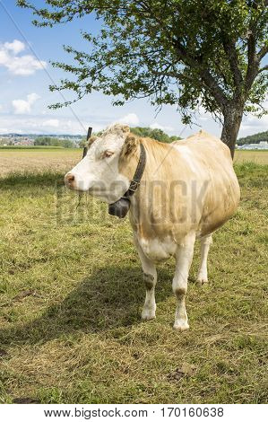 Light brown cow grazing in a field in summertime