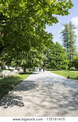 Path of a park bordered wuith conker tree in blossom