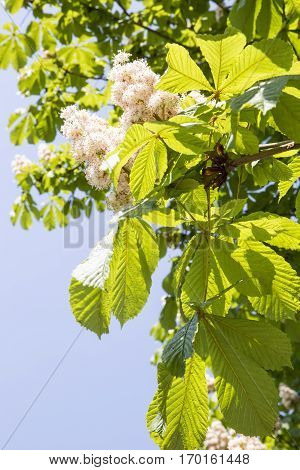 Blooming conker tree with white flowers with summer blue sky background
