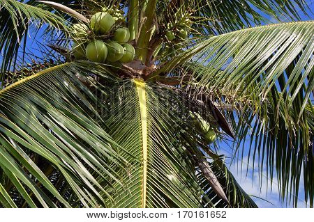 Coconuts hanging on a coconut palm tree