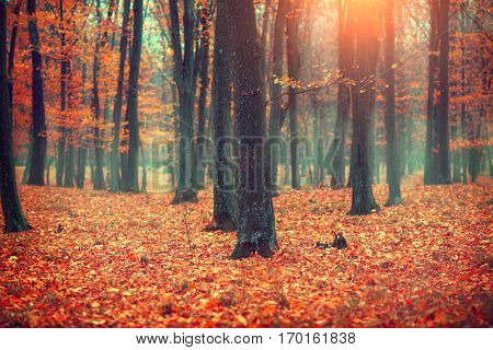 Autumn, Fall scene. Beautiful Autumnal park. Beauty nature scene. Autumn landscape, Trees and Leaves, foggy forest.