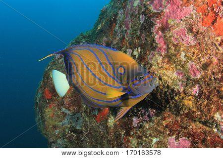 Ring Angelfish