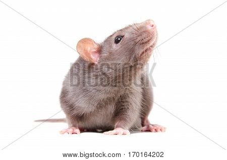 Portrait of curious gray rat isolated on white background
