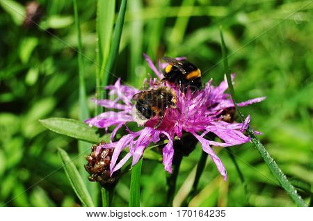 Two bumblebees are collecting nectar on purple cornflower at sunny meadow. Macro photo.