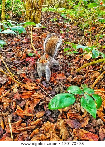 Squirrel in Regents park in Central London