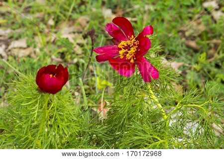 image background bright red wild peony flowers in the desert on the plateau of Crimean mountains