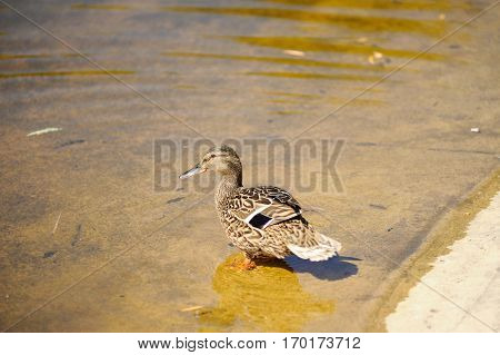Single wild duck in summer on the lake.In the water.female.