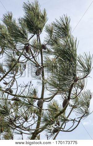 Pine tree with pine cones and needles