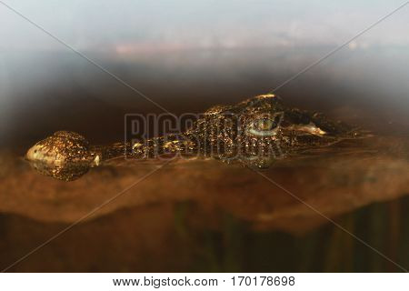 Photo of a crocodile's head which is half hidden under the murky brown water and sticks his nose and green predatory eyes with fog top composition