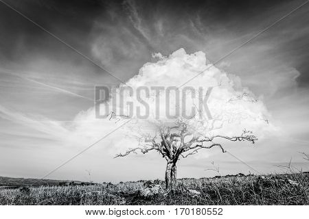 black and white surrealistic fantasy tree with a cloud instead of crown of leaves with blue sky and dry yellow grass