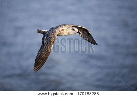 Seabird flying in movement over the sea